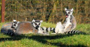 lemurer madagaskar 300x157 - lemurer_madagaskar